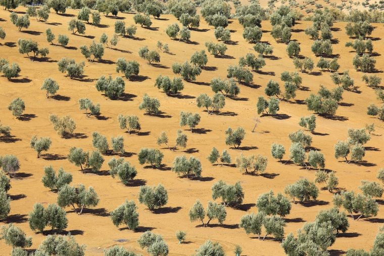 Kultur-Olivenbäume in der Provinz Jaén in Spanien, Andalusien.