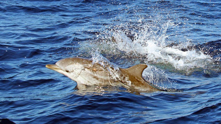 Delfin in Spanien.