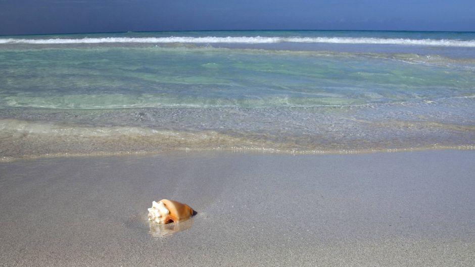 Fechterschnecke am Strand.