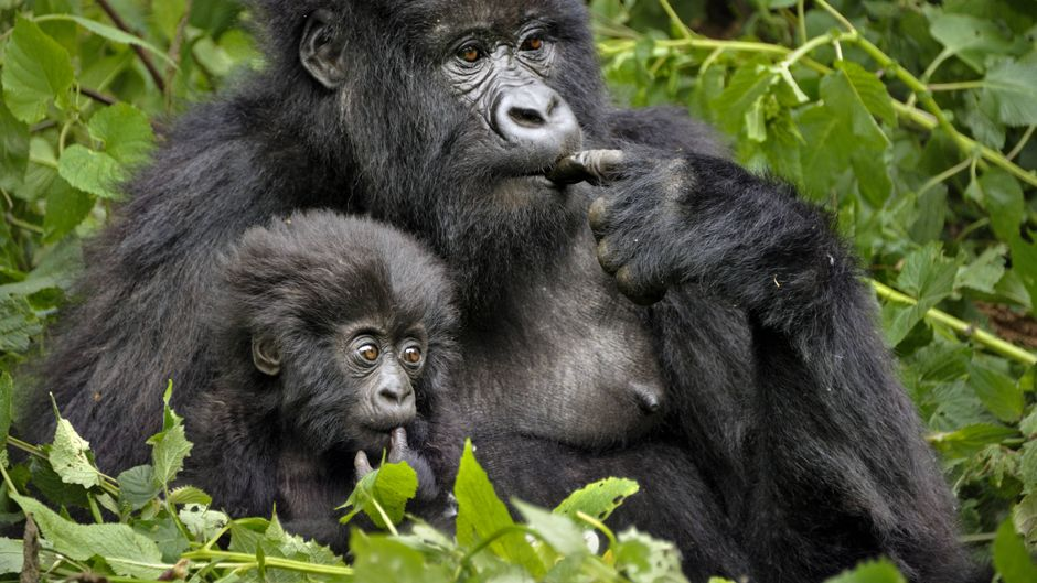 Berggorilla-Baby mit Mutter im Virunga Nationalpark in Ruanda.