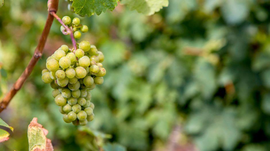 Weinstöcke an einem Hang in der Nähe von Leiwen in Rheinland-Pfalz.