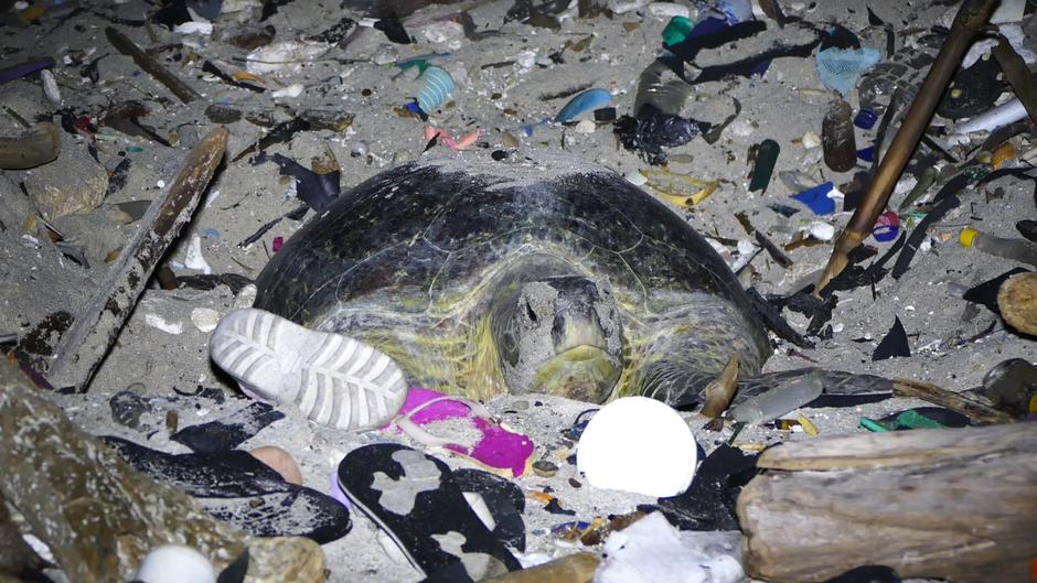 Eine Schildkröte gräbt sich am Greta Beach auf der Weihnachtsinsel durch Plastikmüll, um ihre Eier am Strand ablegen zu können.