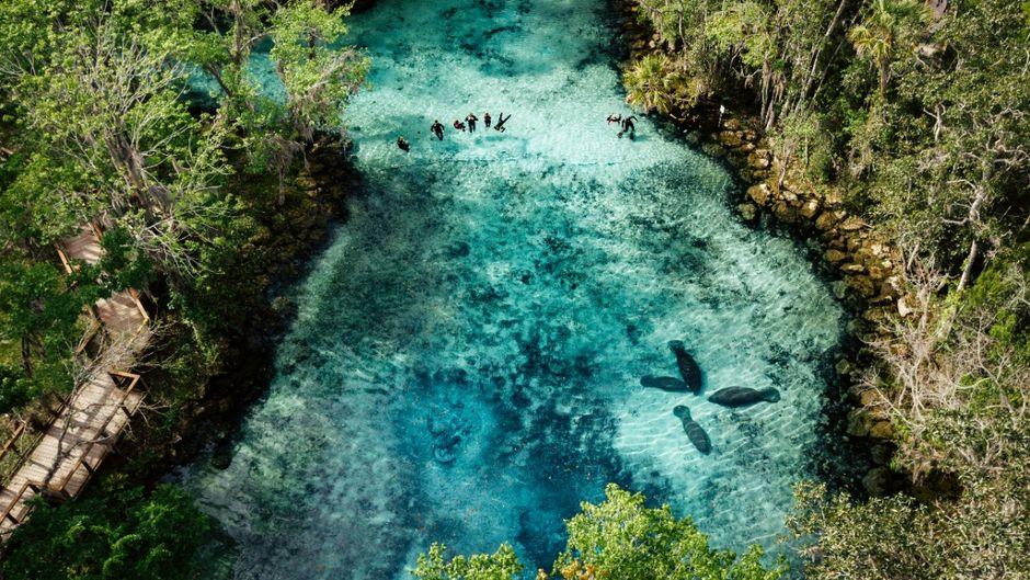 Im klaren Wasser des Crystal River in Florida kommst du bei organisierten Touren Manatees ganz nahe.