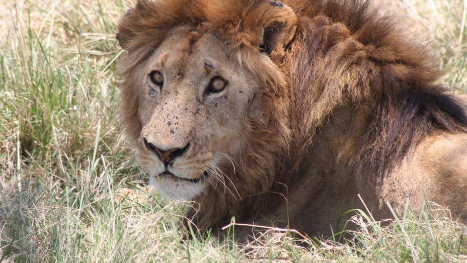 Löwenmännchen in freier Wildbahn in Afrika.