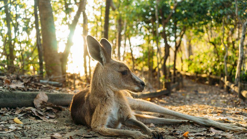 Ein Känguru liegt in einem Wald in Queensland, Australien.