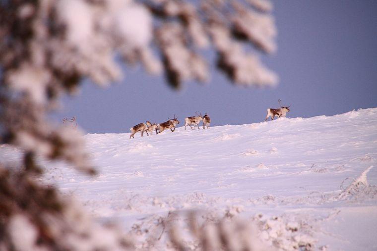 Rentiere im Schnee in Lapland.