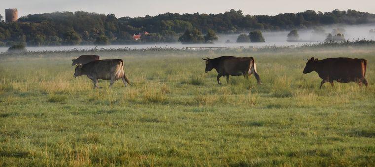 Ammenkühe stehen im Morgennebel auf einer Weide im Nationalpark Unteres Odertal.