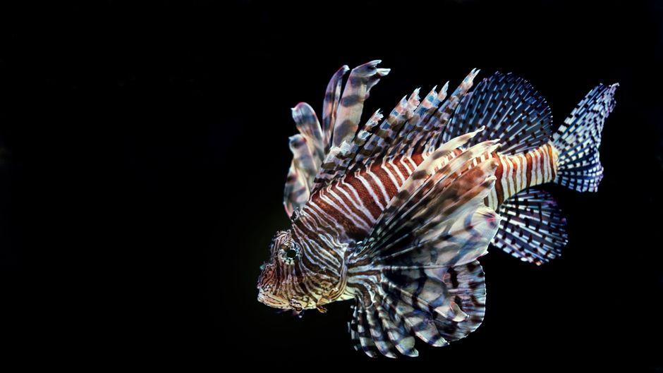 Ein Feuerfisch im Wasser.