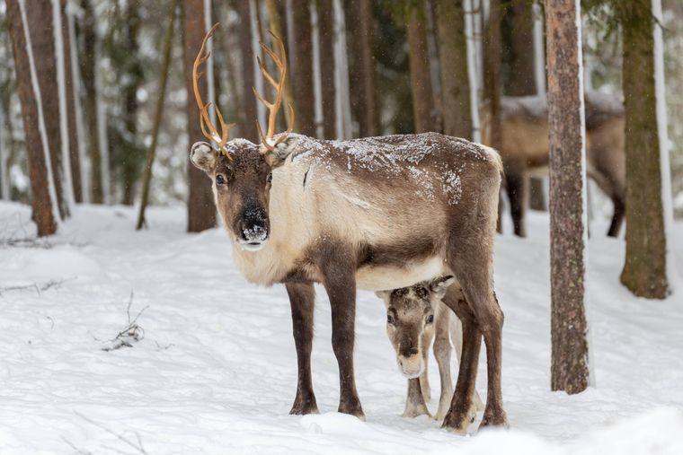 Zwei Rentiere im Schnee nahe Rovaniemi, Lappland.