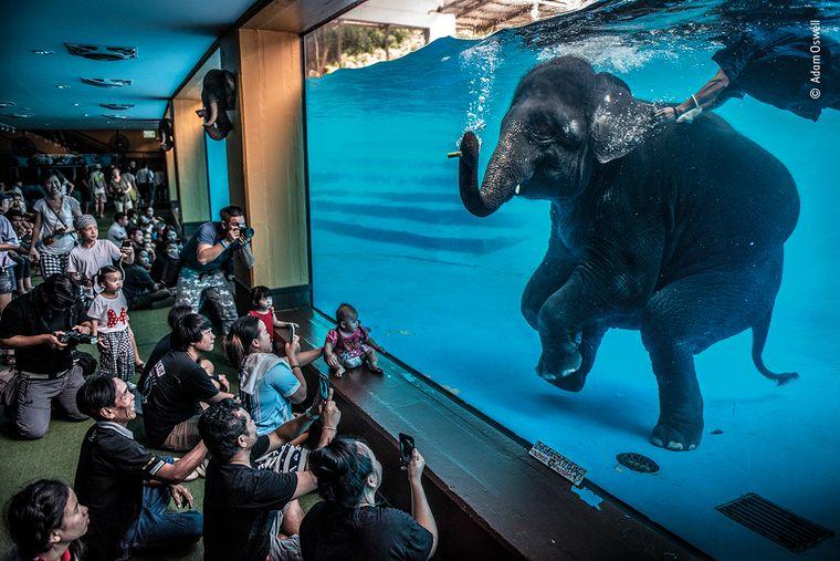 """Zoobesucher in Thailand beobachten einen jungen Elefanten, der unter Wasser spielt. Fotograf Adam Oswel nennt sein Bild """"Elephant in the Room"""". Hinter dem Bild steckt ein trauriger Fakt: In Thailand leben inzwischen mehr Elefanten in Gefangenschaft als in Freiheit."""