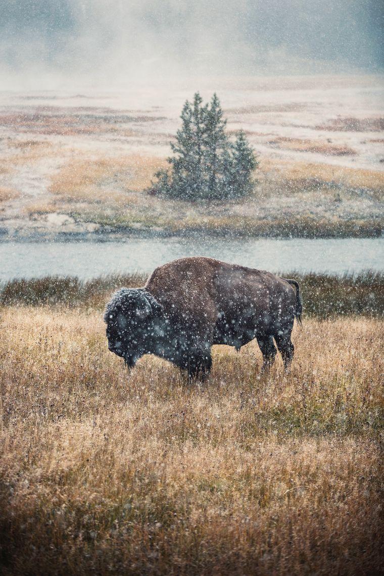 Im Yellowstone-Nationalpark leben ganze Bisonherden. Im Lamar Valley stehen die Chancen gut, ihnen zu begegnen.