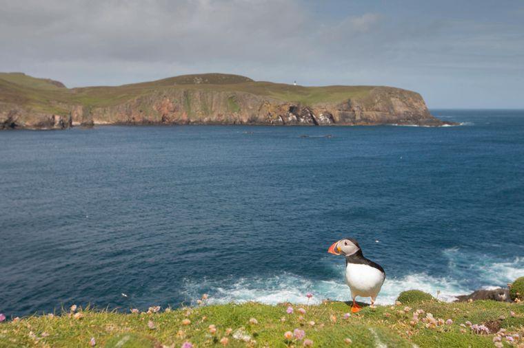 Ein Papageientaucher auf Fair Isle – die Vögel mit ihrem clownähnlichen Aussehen locken Besucher auf die Insel.