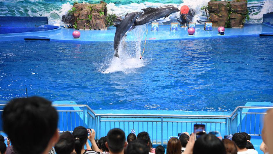 Zirkusshows, bei denen Meeressäuger Kunststücke vorführen – für Besucher bei Seaworld ein Highlight, für Tierschützer pure Tierquälerei. (Symbolfoto)