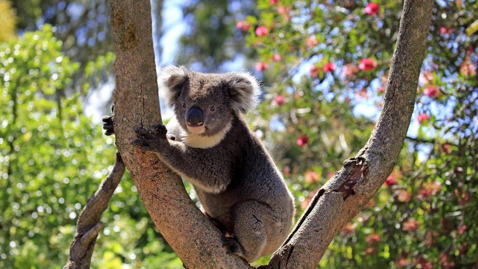 Ein Koala im Outback in Australien.