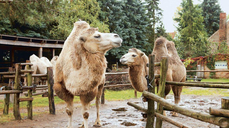 In Brandenburg geht es orientalisch zu. Auf dem Fleckschnupphof im Löwenberger Land laufen Kamele. Kuscheln, bürsten, reiten – alles ist möglich.