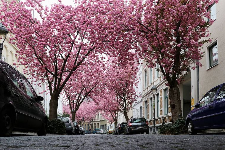 Die Heerstraße in Bonn ist besonders im Frühling einen Besuch wert – dann blühen nämlich die Kirschbäume.