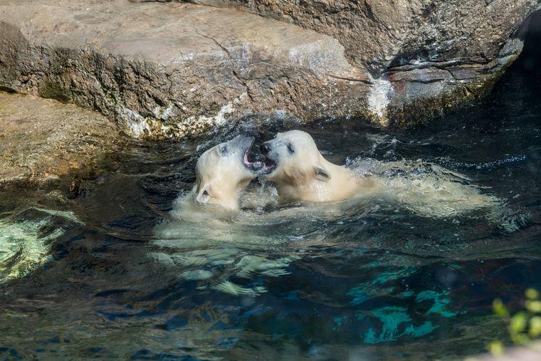 Der Zoo am Meer in Bremerhaven hat Eisbären-Nachwuchs.