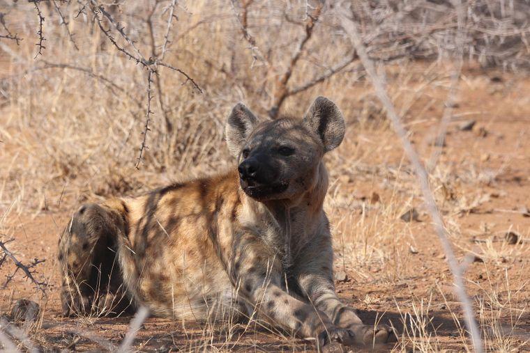 Hyäne im Schatten im Krüger Nationalpark