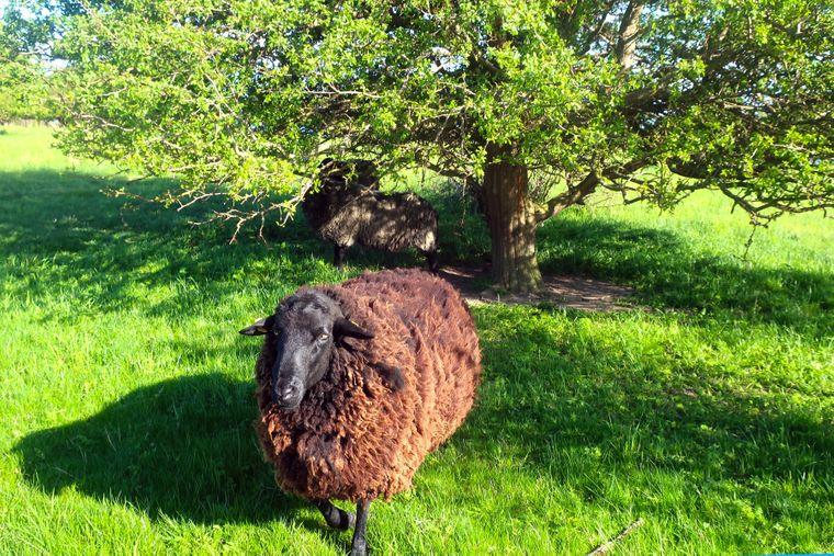 Schaf auf der Greifswalder Oie.