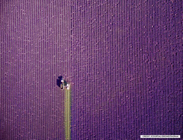 Ein Bauer erntet ein Lavendelfeld.