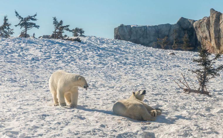 Weltweit gibt es nur noch wenige Orte, an denen du Eisbären in freier Wildbahn beobachten kannst. Manitoba in Kanada ist einer davon.