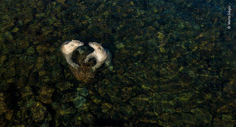 """Zwei Eisbärinnen laufen im Sommer im Wasser der Hudson Bay in Kanada. Sein Drohnenfoto nannte Martin Gregus """"Cool Time, from Land Time for Sea Bears"""" und siegte damit in der Kategorie Rising Star Portfolio."""