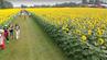 Ein Sonnenblumenfeld in Kanada wurde zum Instagram-Hit. Doch die Lage eskalierte, als Tausende die Farm auf der Jagd nach dem perfekten Foto stürmten. (Symbolfoto)