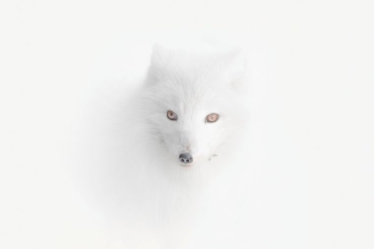 """""""Auf meiner Expedition nach Spitzbergen gab es einen Schneesturm. Alles ringsum war gleich weiß. Und plötzlich sah ich diesen Polarfuchs. Er verschmolz fast mit der Umgebung. Nur seine Augen und Nase verrieten ihn."""" Das schreibt Vladimir Alekseev zu diesem Foto aus seiner Gewinnerserie."""