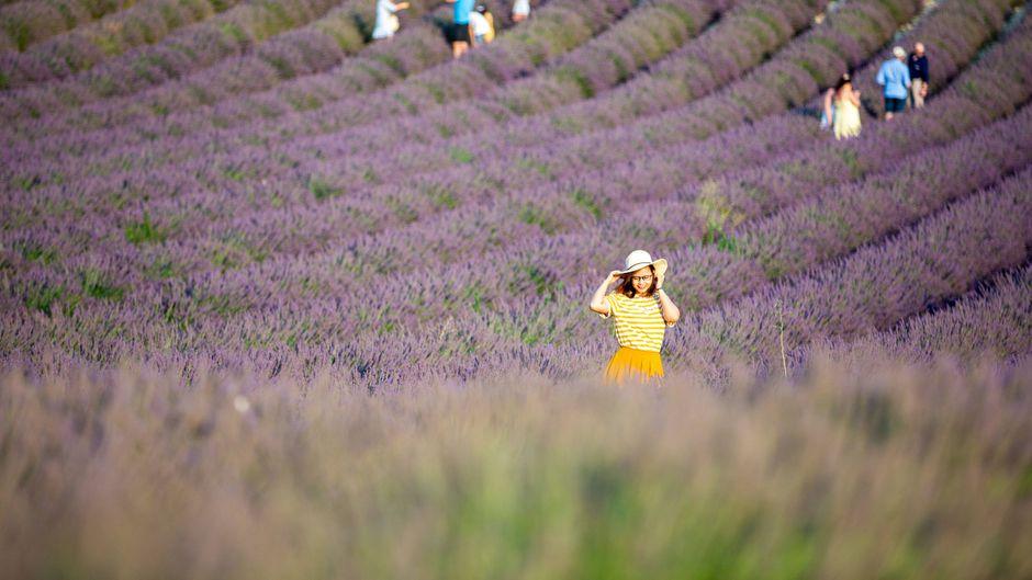 In Valensole in der Provence werden die Lavendel-Felder von Touristen und Influencern überrannt.