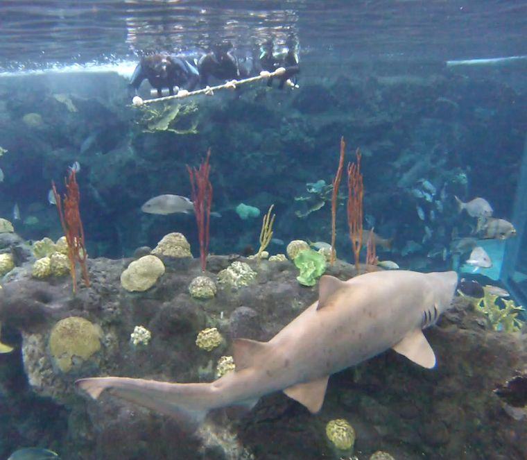 Besucher können im Florida Aquarium zusammen mit Profitauchern ins Haifischbecken steigen.