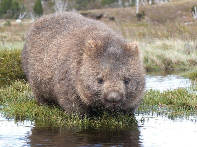 Im Cradle-Mountain-Lake-St.-Clair-Nationalpark gibt es besonders viele Wombats. Sie sind aber auch außerhalb der Parks unterwegs. Auf den Straßen solltest du deshalb vor allem in der Dämmerung vorsichtig fahren.