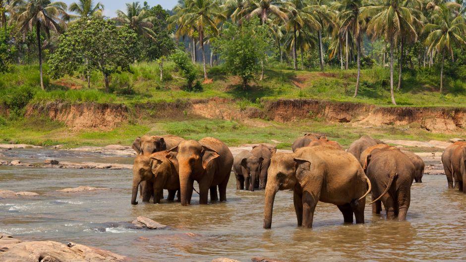 Elefantenherde im Wasser vor Palmen in Sri Lanka.
