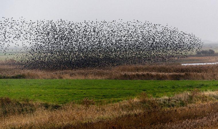 Vogelschwarm über einer Landschaft in Ribe in Dänemark.