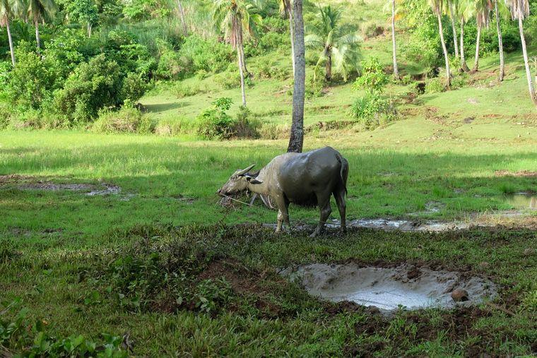 Ein Wasserbüffel grast vor den grünen Wäldern