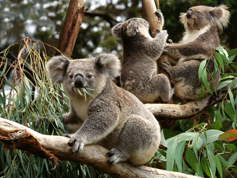 Adoptiere einen Koala.