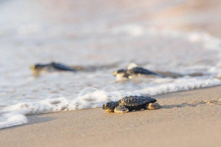 An der Padre Island National Seashore schlüpfen streng geschützte Schildkröten.