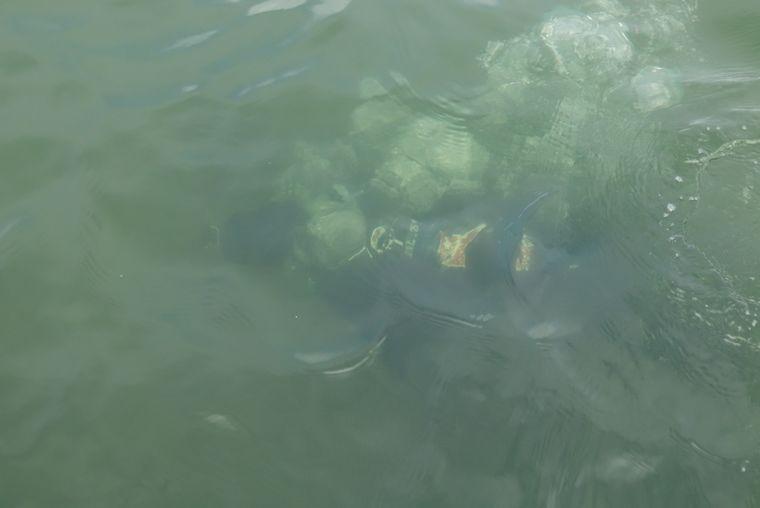 vDie Muscheln wachsen nicht tief, aber das Wasser in der Bucht von Tampa ist nicht gerade klar.