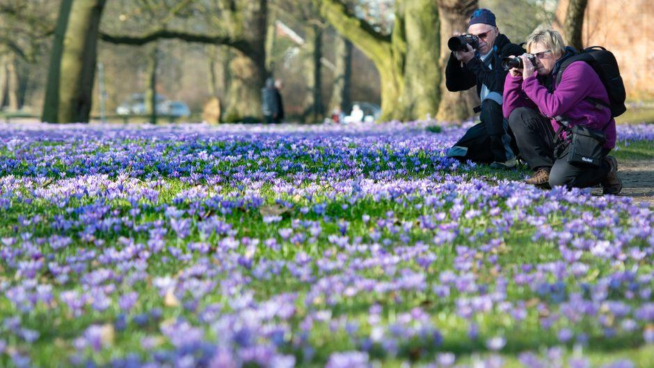 Ende Februar und schon in voller Blüte: Die Krokusse im Husumer Schlosspark. Brigitte Walenski,64 und Ehemann Hermann,70, aus Barmstedt bei Elmshorn sind mit ihren Kameras auf Motivsuche.Ulf Dahl