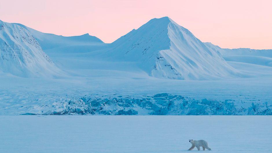 Ein Eisbär wandert durch die verschneite Landschaft auf Spitzbergen.