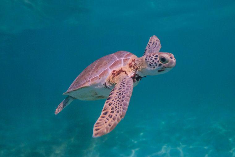 Eine grüne Meeresschildkröte.