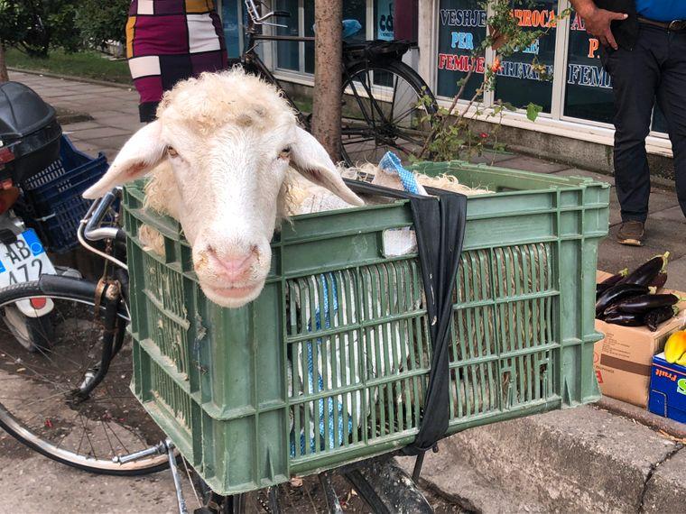 Markt von Shkodra: Einen eher unbequemen Platz auf dem Gepäckträger hat dieses Schaf zugewiesen bekommen.