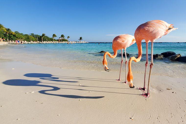 Flamingos am Strand von Aruba.