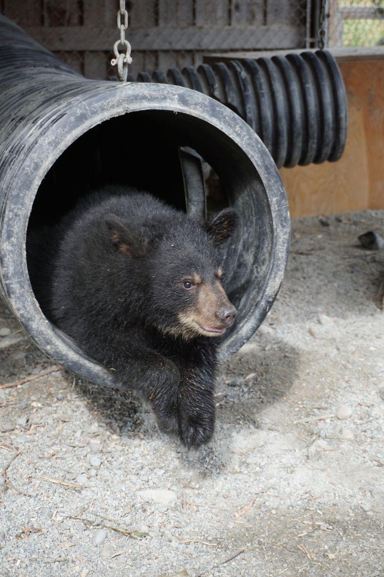 Ein Schwarzbärenbaby genießt die Ruhe im Refuge Pageau. Bald wird es wieder in die Wildnis entlassen.