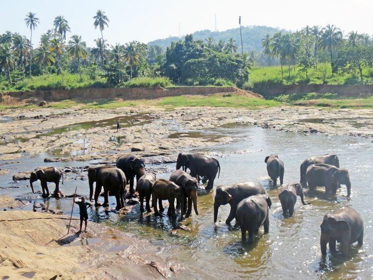 Elefanten im Pinnewala Elephant Orphanage auf Sri Lanka.