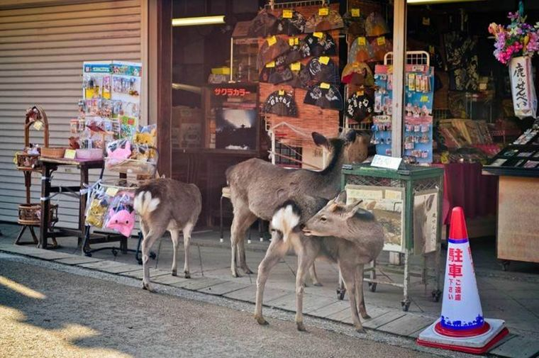 Die Nara-Hirsche sind zutraulich, schnuppern sogar in der Nähe der Souvenirshops.