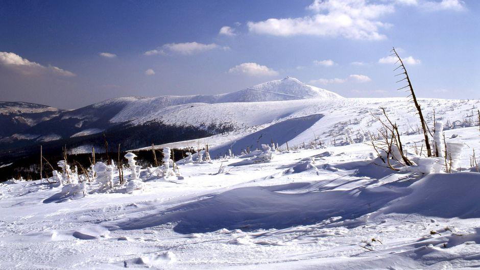 Abgestorbene Bäume im Schnee vor der verschneiten Schneekoppe im Riesengebirge