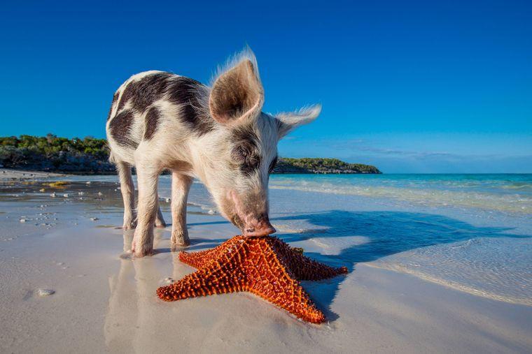 Schwein beschnuppert einen Seestern auf den Bahamas.