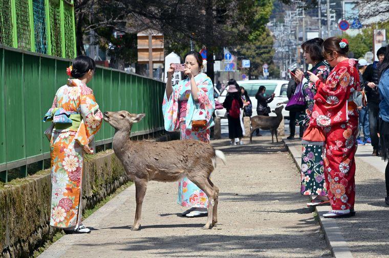 Die Hirsche laufen frei durch die Stadt, zur Freude der Touristen.