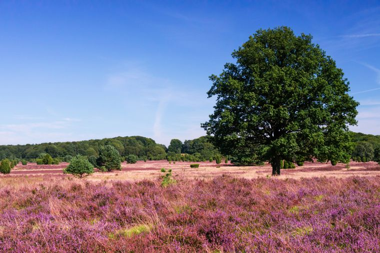 Die Lüneburger Heide zeigt sich meist farbenfroh.