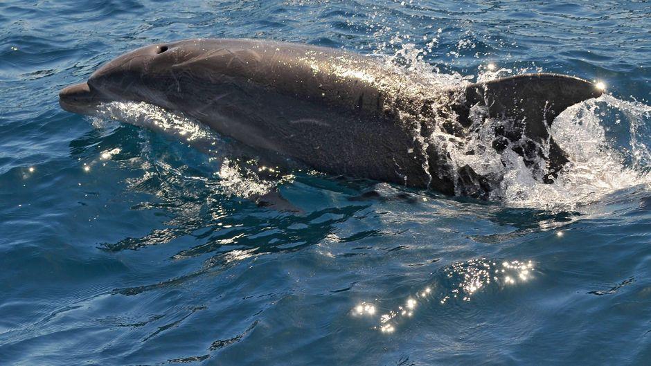 Ein einzelner Delfin schwimmt durchs Wasser. Normalerweise sind die Tiere nur im Rudel anzutreffen.